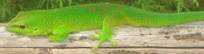 Ankarana Special Reserve Lizard-madagascar-adventure-unspoiled-discover-madagascar