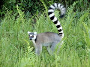 Madagascar wildlife safari Ring Tailed or Maki Lima-unexplored-adventure-off-the-beatedn-track